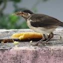 Pied Myna (chick)