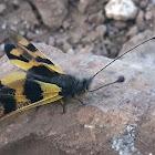 Eastern Owlfly