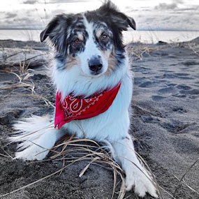 Aussie at the Beach. by Aaron Bushkowsky - Animals - Dogs Portraits