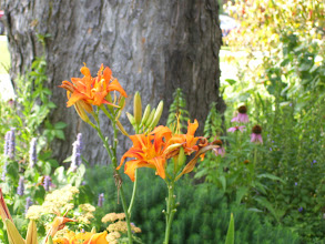 Photo: day lillies and echinacea