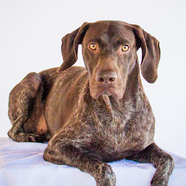the glance by Meaghan Browning - Animals - Dogs Portraits ( studio, german shorthaired pointer, pointer, laying, gsp )