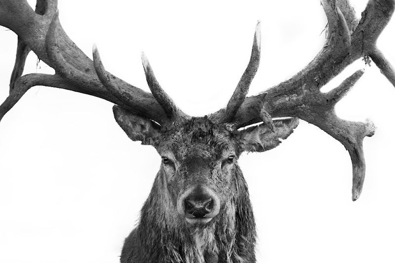 Photo: Red Deer - On White