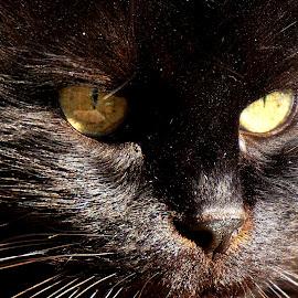 Tomtom1 by Sámuel Zalányi - Animals - Cats Portraits ( eye, tomcat, cat, black, yellow,  )