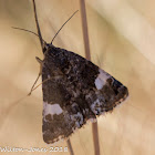 4-spotted Moth