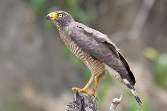 Photo: Roadside Hawk