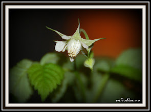 Photo: Day 346 Raspberry Bush