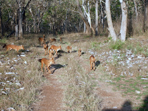 Photo: This was so stunning - India's famous Wild Dog -the Dhole in Bandipur 2006