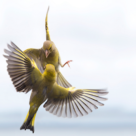 Dueling finches by Trevor Bond - Animals Birds ( bird, finch,  )