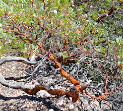Photo: 149. I have always enjoyed seeing manzanita shrubs or trees on trips out to the drier parts of the West. I love their reddish or orange bark. You can also see some yellowish berries gracing the top branches.