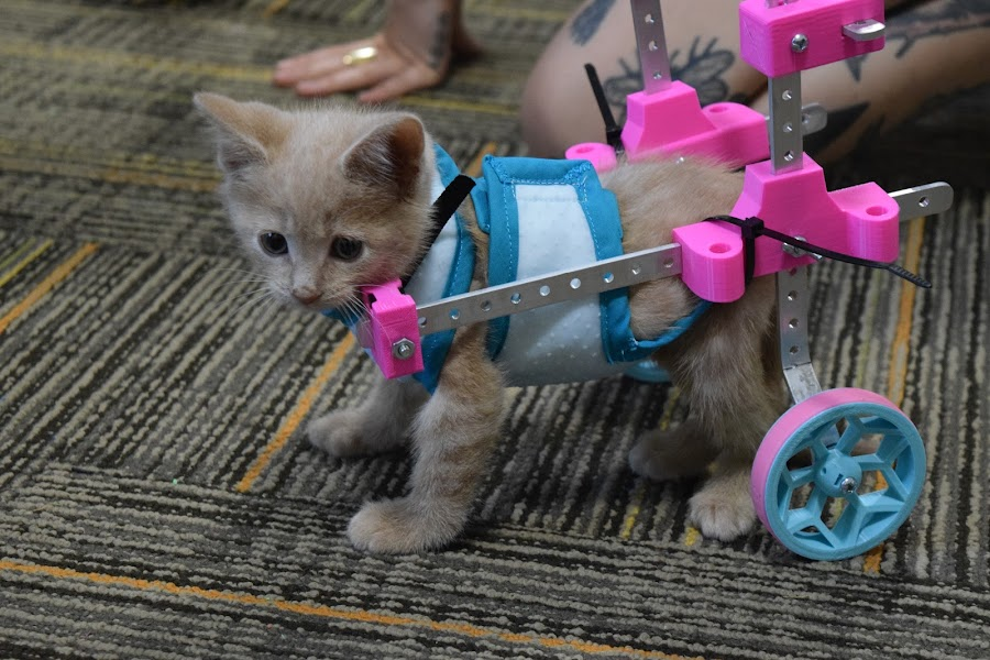 Kitten Chloe getting some wheels!