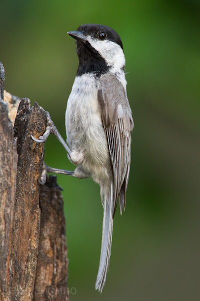 Photo: Carolina Chickadee
