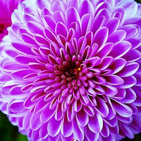 Bursting pink by Sue Delia - Flowers Single Flower ( purple, pink, flower,  )