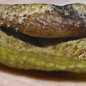 Unknown spotting - Geometridae Pupa and Pupa's Exuvia / Desconhecido - Pupa e Exúvia da Pupa de Geometridae
