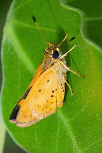 Photo: Hesperiidae butterfly Borboleta Hesperiidae