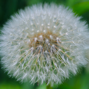 The End by Laura Bentley - Nature Up Close Flowers - 2011-2013 ( dandelion, seeds, flower )
