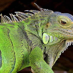 green monster by Gedion Kristianto - Animals Reptiles