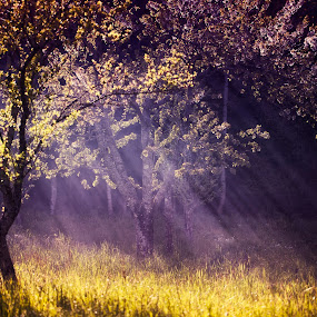 Magic Orchard by Anne-Cecile Pflieger - Landscapes Prairies, Meadows & Fields ( ray, purple, grass, blooming, orchard, bloom, yellow, spring, rays, sun, smoke, blossom, annececilegraphic, tree, apple, ray of light, trees, flowers, light, flower,  )