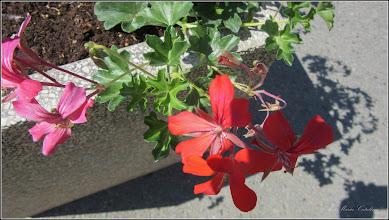 Photo: Mușcată (Pelargonium)  - din Piata Romana - 2017.06.19