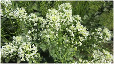 Photo: Traista-ciobanului (Capsella bursa-pastoris) - din Turda, Calea Victoriei, alee pietonala - 2018.04.29