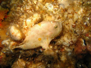 Photo: Antennaire blanc aux Mergui ou Frogfish