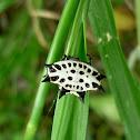 Gasteracantha Spider