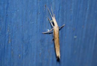 Photo: Ypsolopha mucronella  Lepidoptera > Ypsolophidae