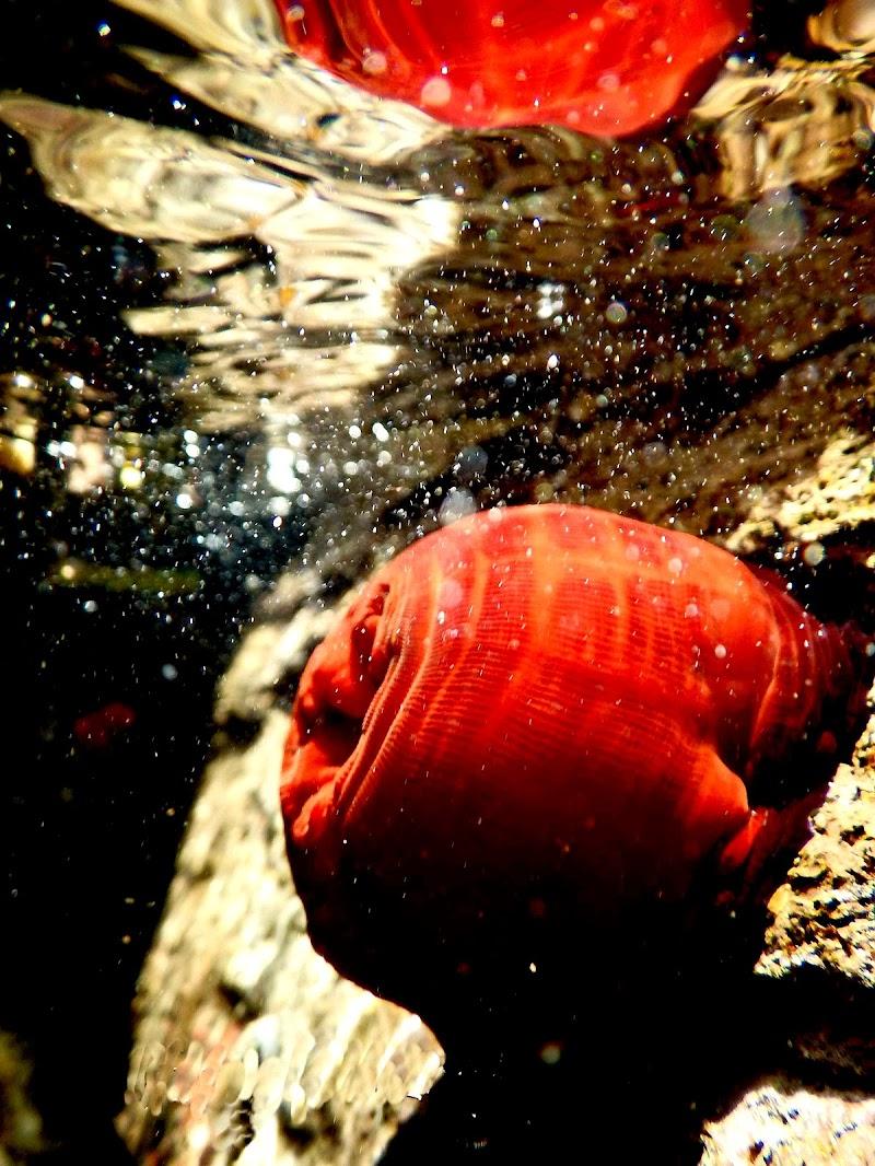 il pomodoro di mare... di tomaso melis