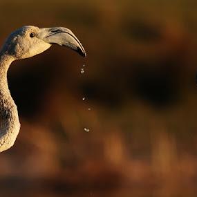 Flamingo by Adem Yağız - Animals Birds ( kuşlar, flamingo, birds, kuş )