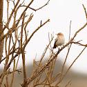 Alzacola (Rufous-tailed scrub robin)