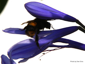 Photo: (Year 2) Day 253 - A Bee in the Agapanthus