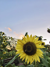 Photo: Bee on sunflower in the sunset at Cox Arboretum and Gardens of Five Rivers Metroparks in Dayton, Ohio.