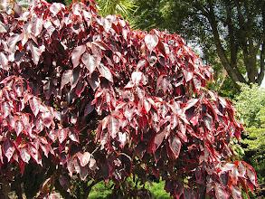 Photo: Некое дерево с красными листьями