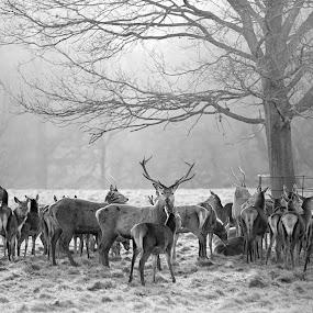 Deer at Studley Royal by Andrew Holland - Black & White Animals ( animals, antlers, wildlife, animal, deer )