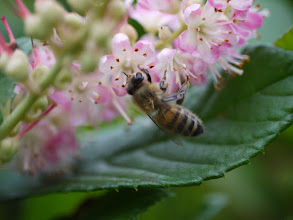 Photo: Honey bee