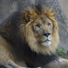 Male Lion by Nancy Tubb - Animals Lions, Tigers & Big Cats ( big cat, lion, big cats, feline )