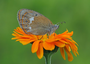 Photo: Coenonympha glycerion,  Fadet de la mélique,  Chestnut Heath  http://lepidoptera-butterflies.blogspot.com/
