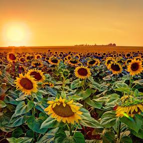 Sunset Sunllower field by Robbie Aspeling - Landscapes Sunsets & Sunrises ( sunset, sunflower, evening, flower )