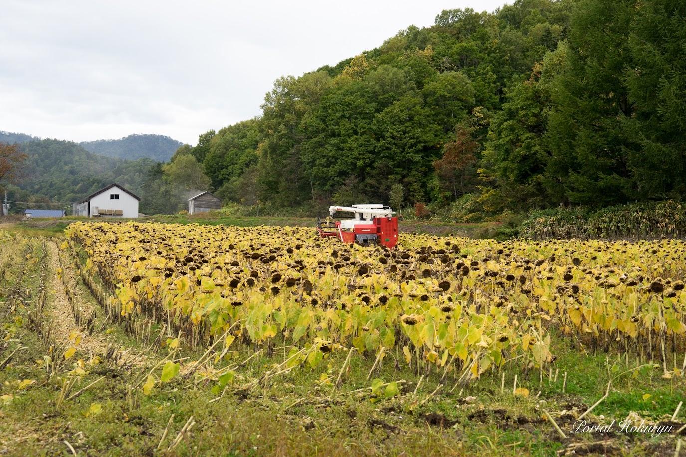 油用ひまわりの収穫