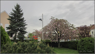 Photo: Cires japonez (Prunus Surrulata) - din Turda, Piata 1 Decembrie 1918, spatiu verde - 2018.04.17