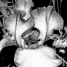 Iris in BW by Tina Dare - Black & White Flowers & Plants ( macro, close up, b&w, iris, bw, nature, up close, black and white, flower )