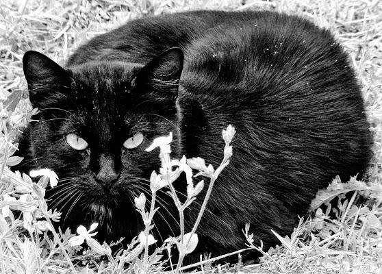 Gatto nero in B&W di marvig51