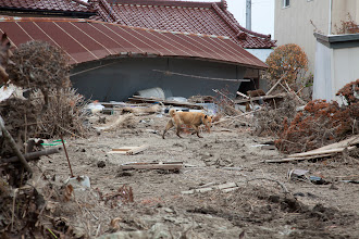 Photo: May 7, 2011. Odaka, Fukushima, Japan. Inside the Evacuation Zone. A dog scavenges for food. Countless cats, dogs and livestock were abandoned by their owners.