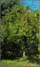 Photo: Corcodusi (Prunus cerasifera)  - de pe Calea Victoriei, B15 - 2017.07.19