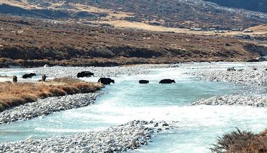 Photo: NEPAL-yaks crossing river
