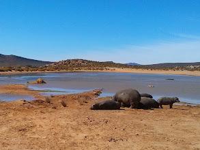 Photo: Hippos on Safari