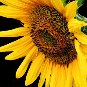 Sunflower by Milan Milosevic ヅ - Nature Up Close Other plants ( nature, flora, plants, sunflower, yellow, flower )