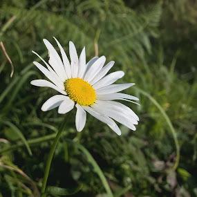 Single daisy  by Sal Hosking - Flowers Single Flower