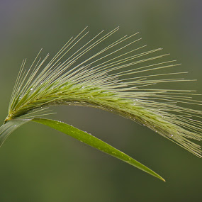a simple closeup by Giovanni De Bellis - Nature Up Close Leaves & Grasses ( macro, nature, green, simple, leaves, close up )