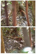 Photo: 撮影者:中橋 薫 ヤマドリ タイトル:がさごそと 観察年月日:平成26年12月22日10時頃 羽数:1羽 場所:高尾山3号路(ヤマドリの標識の近く) 区分:行動 メッシュ:八王子0E コメント:高尾山3号路の中間付近を歩いている時、がさごそと音がするのでその方向へ目をやると採餌中のヤマドリがいた。ヤマドリもこちらに気づいたようで採餌をやめ窺っているようなしぐさをしていた。