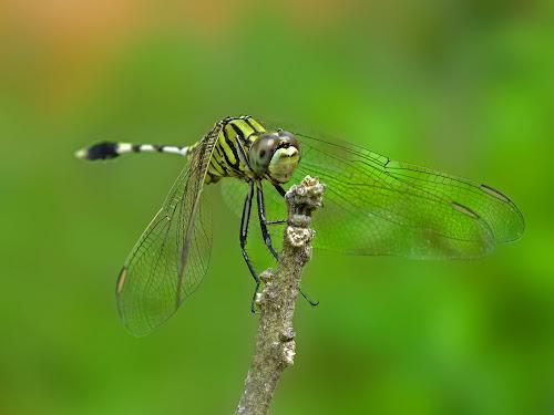 Dragonfly by Debojyoti Chakraborty - Animals Insects & Spiders ( mithun das, ipsita chatterjee, sourav chatterjee, shilpa duttabasu, anirban bhar, sanjit sarkar, sucheta adhikari, chandrakanta chatterjee, soumik mitra )